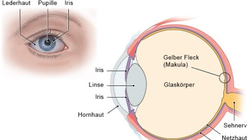 Graphic of the structure of a human eye