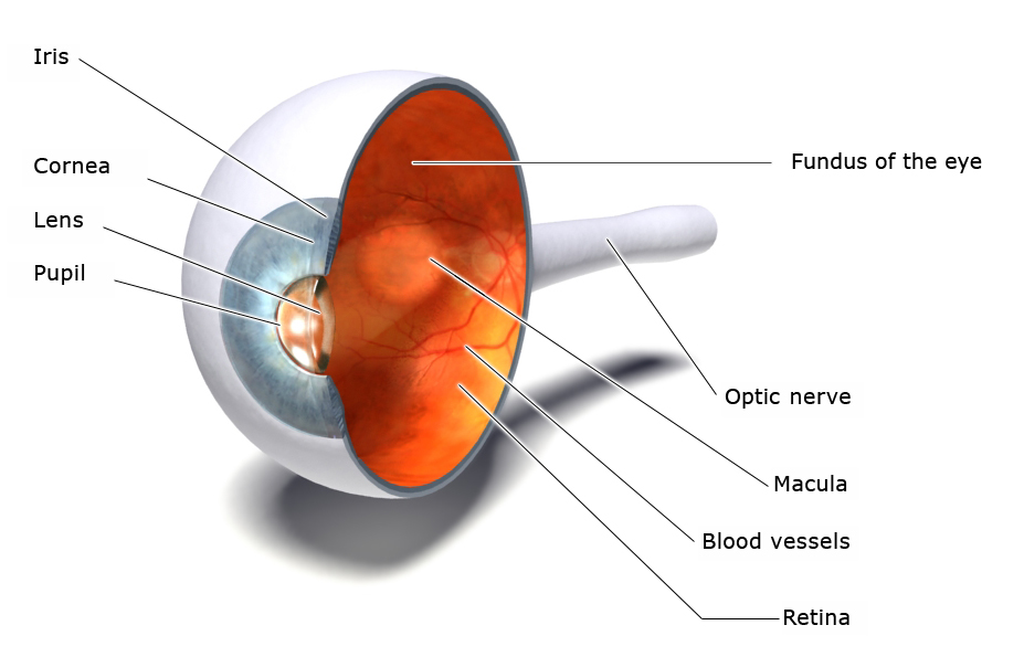 Illustration: Structure of the eye