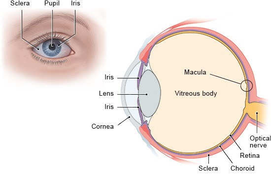 Illustration: The main parts of the human eye – as described in the article