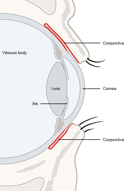 Illustration: Side view of the eye showing the conjunctiva (in red) – as described in the article
