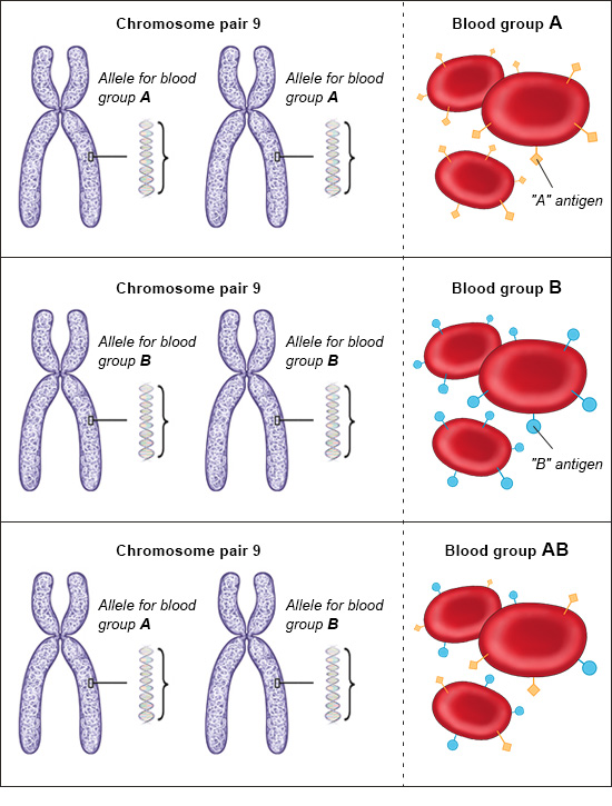 Illustration: Alleles in people with the blood groups A, B and AB – as described in the article
