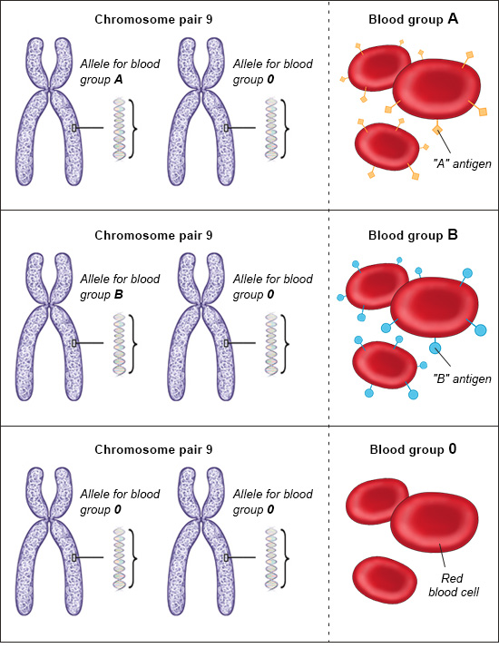 Illustration: Alleles in people with the blood groups A, B and O – as described in the article