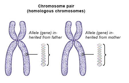 Illustration: Human chromosomes come in pairs – as described in the article