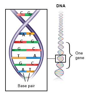 Illustration: DNA looks like a ladder with different kinds of steps – as described in the article