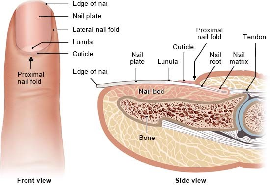 Illustration: Structure of the nails – as described in the article