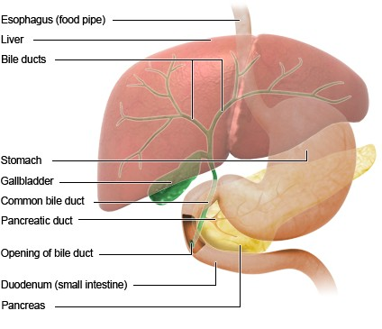 Illustration: Location of the gallbladder – as described in the information