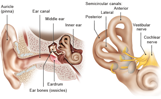 Illustration: Structure of the ear and the vestibular system – as described in the information