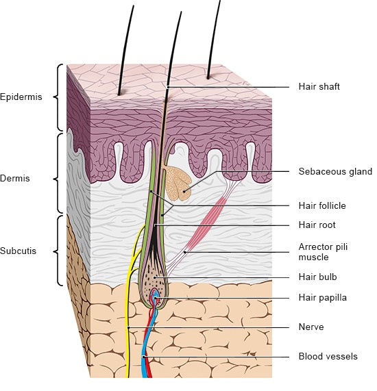 Illustration: Structure of a hair – as described in the article