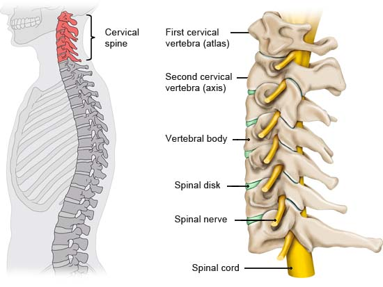 Illustration: Structure of the cervical spine: Bones, spinal disks and nerves