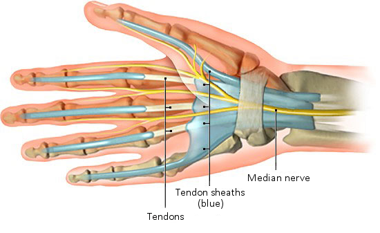 Illustration: Hand with tendons and tendon sheaths (palm of the hand)