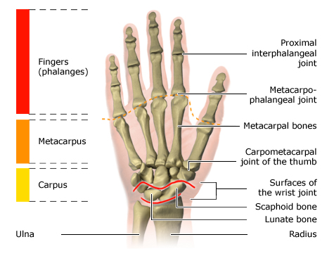 Illustration: The bones of the hand
