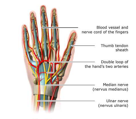Illustration: Location of the main nerves and blood vessels in the hand