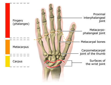 Illustration: Joints in the fingers
