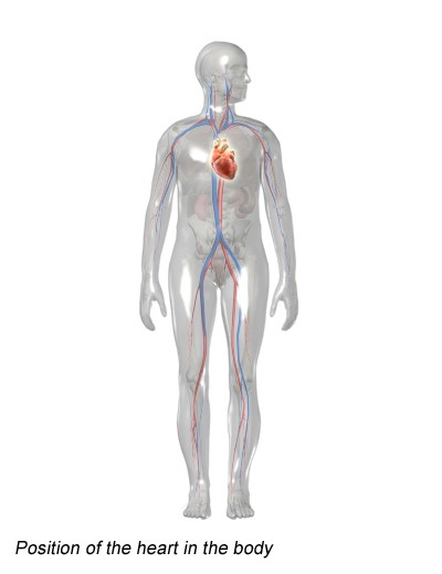 Illustration: Position of the heart in the body