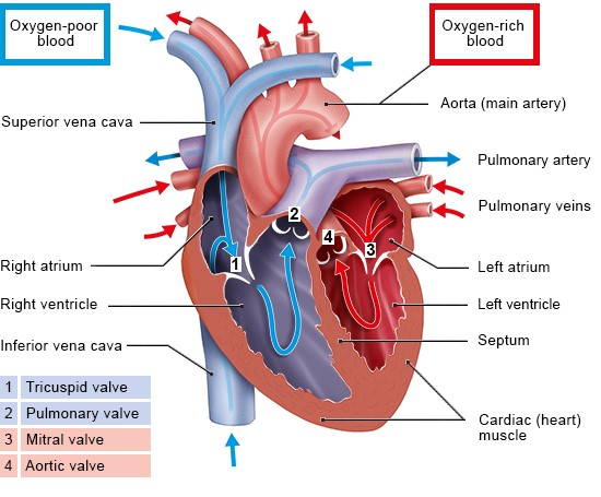 Illustration: The heart valves ensure that the blood flows in the right direction