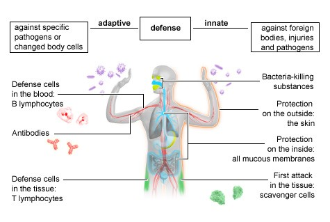 Illustration: The innate and the adaptive immune systems
