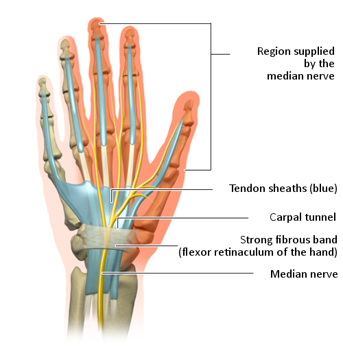 Illustration: The carpal tunnel and the nerves in the hand
