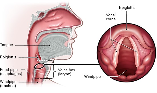 Illustration: Larynx and vocal cords (enlarged view on the right, seen from above) – as described in the article