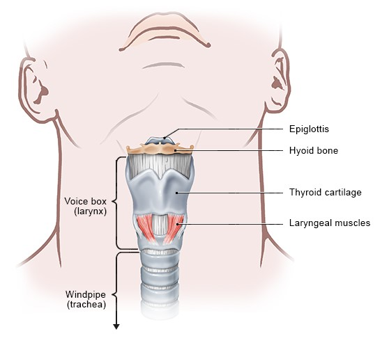 Illustration: Structure of the larynx
