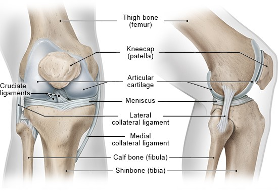 Illustration: Bones, cartilage and ligaments in the right knee: Left – front view, Right – side view – as described in the article
