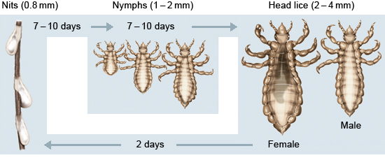 Illustration: The life cycle of head lice