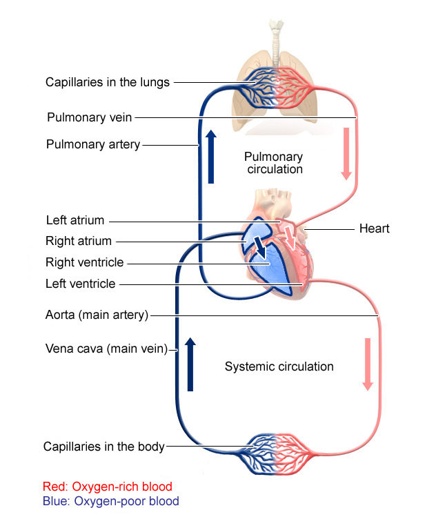 Illustration: Pulmonary and systemic circulation