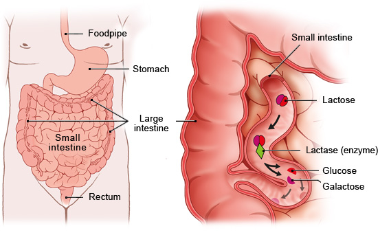 Illustration: Normal lactose digestion – as described in the article