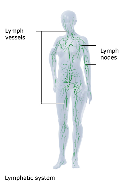 Illustration: The lymphatic system