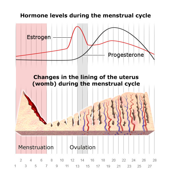 Illustration: Effect of hormones on the lining of the womb (uterus) during a menstrual cycle