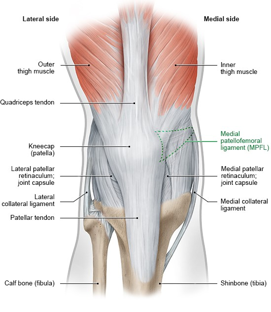 Illustration: Front view of right knee, with supportive bands of tissue and thigh muscles