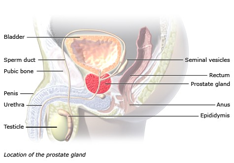 Illustration: Location of the prostate gland