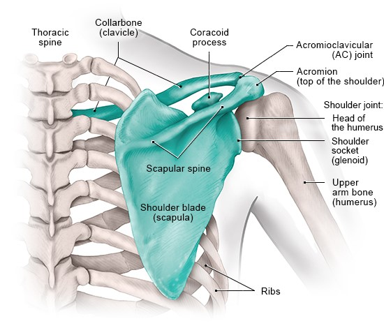 Illustration: The bones in the shoulder (back view)