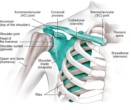 Illustration: The bones in the shoulder (front view)