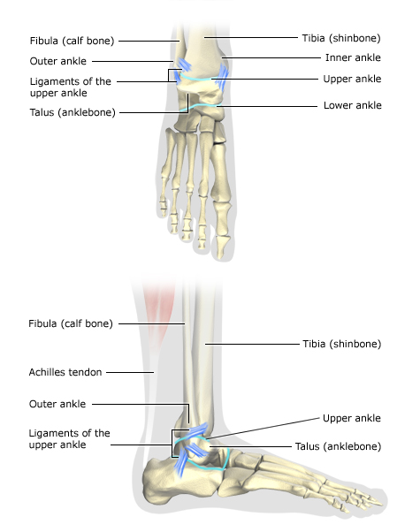 Illustration: Healthy ankle, seen from above and from the side - as described in the article