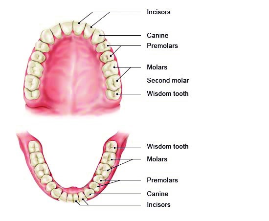 Illustration: Full set of 32 adult teeth