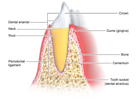 Periodontium - as described in the article
