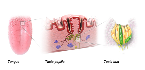 Illustration: Tongue, Taste papilla and Taste bud