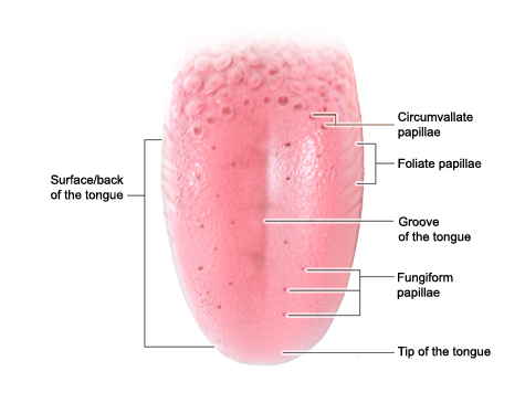 Illustration: Structure of the tongue